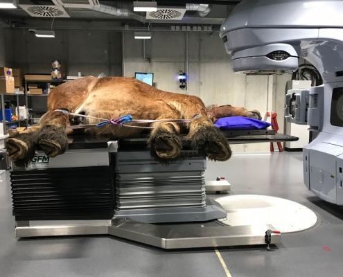 Krebstherapie für Pferde